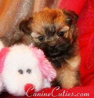 Michigan Maltepoo puppies for sale, Michigan Mari May Kennels