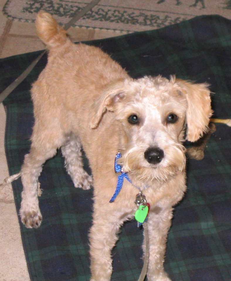 Haircuts For Schnoodle | HAIRSTYLE GALLERY