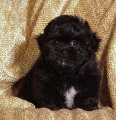 Shih  Puppies on Exercise Shih Poo Pups Enjoy A Daily Walk And Love