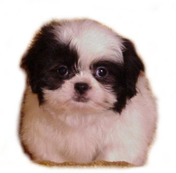 Shih  Puppies on Mari May Kennels  Shih Poo  Michigan