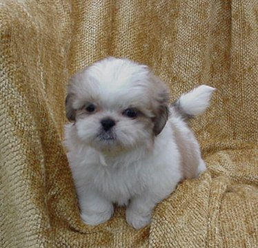 Shih  Puppies on Shih Poos Love To Play  Mari May Kennels  Shih Poo  Michigan