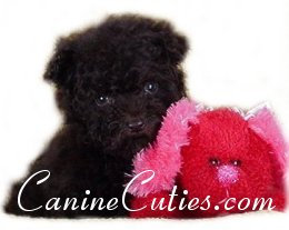 Mari-May Kennels, Canine Cuties, Schnoodle, Shih-poo, Maltipoo, puppy prices